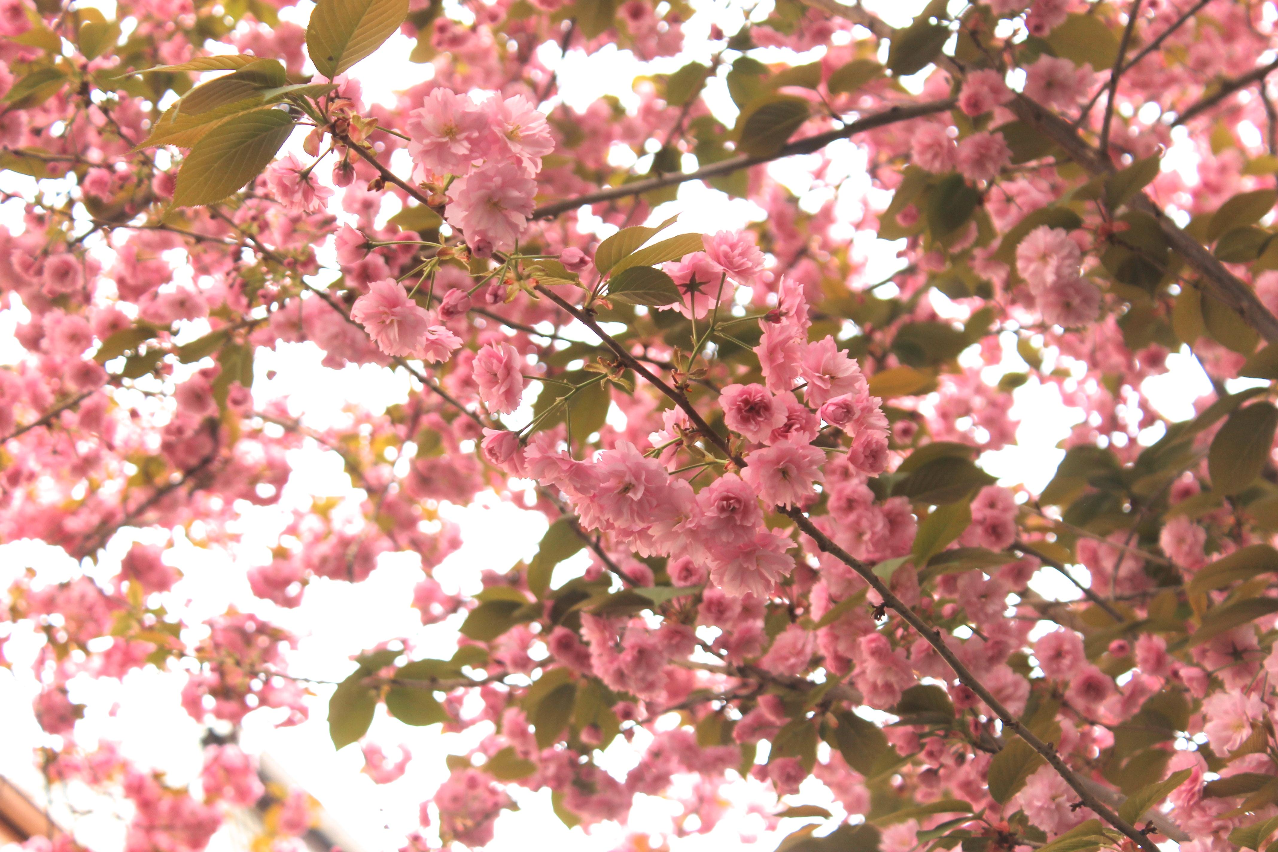 bonner kirschblüte bonn altstadt kirschblütenzeit kirschblüten